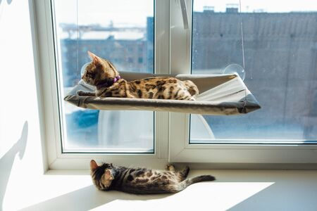 Two cute bengal kittens gold and chorocoal color laying on the cat's window bed and windowsill relaxing. Sunny seat for cat on the window.