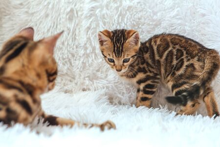 Two cute bengal kittens gold and chorocoal color playing and fighting on the white background indoors. Standard-Bild
