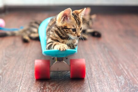 Cute little bengal kitten laying on blue plastic skateboard indoors Foto de archivo