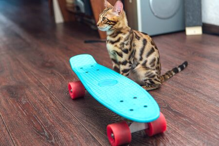 Cute little bengal kitten sitting next to blue plastic skateboard indoors