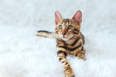Young cute bengal kitty cat laying on the white background. Copy space.