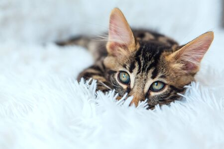 Little charcoal bengal kitty laying on the white background. Copy space. Foto de archivo