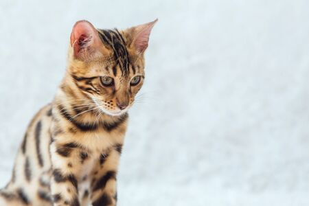 Young cute bengal kitty cat sitting on the white background. Copy space.