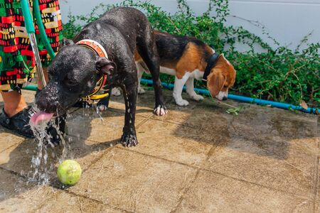 Happy smiling young black Pitbull dog washing under water jet with green tennis ball on a strret