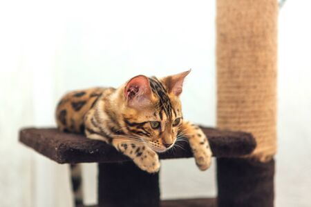 Young cute bengal cat laying on a soft cat's shelf of a cat's house.