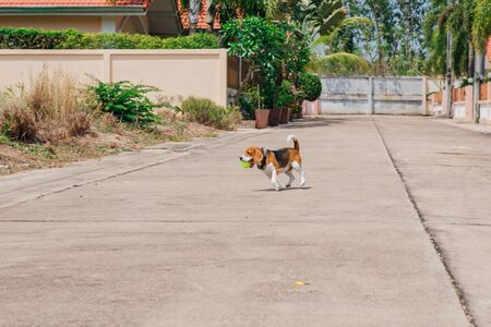 Happy smiling young beaglel dog walking on the street with green ball in mouth