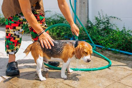 Happy smiling young beagle dog washing under water jet outdoors