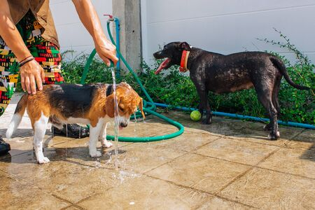 Happy smiling young beagle dog and pit bull dog washing under water jet outdoors