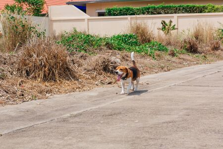 Happy smiling young beagle dog walking on the street in a hot summer day