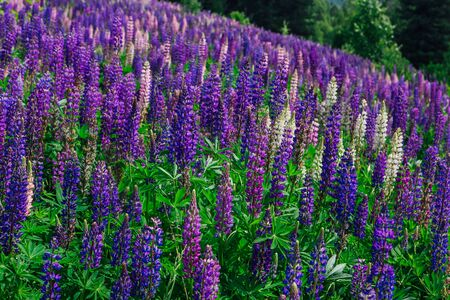 A field of blooming Lupine flowers - Lupinus polyphyllus - garden or fodder plant. Purple and pink lupines