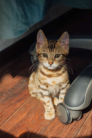 Cute curious bengal kitty cat sitting on the floor under chair at home