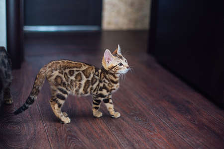 Cute curious bengal kitty cat playing on the floor at home