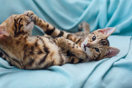 Little gold bengal kittens laying and playing on the blue background. Фото со стока