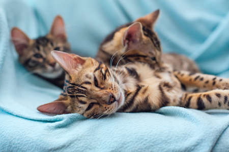 Three bengal cats laying and relaxing on the blue background.