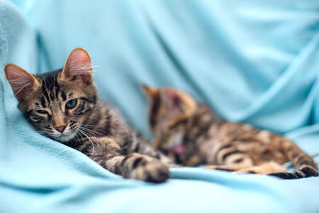 Little charcoal and gold bengal kittens laying and relaxing on the blue background.