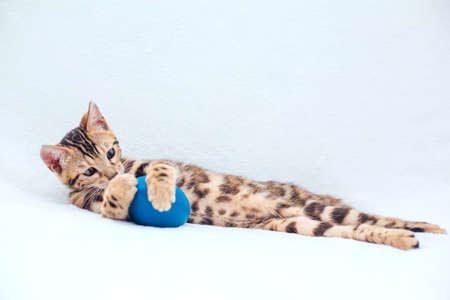 Little cute bengal kitty laying with blue toy on the white background. Copy space.