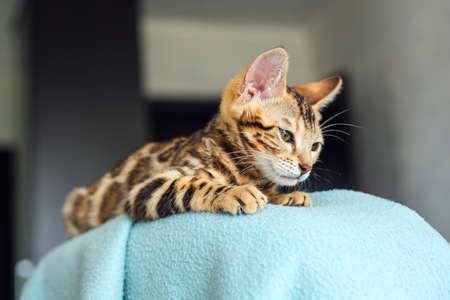 Little bengal kitty laying on the backrest of an armchair at home 版權商用圖片