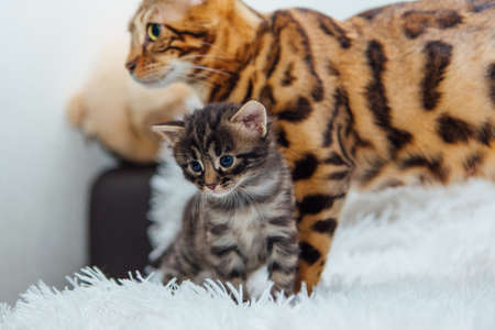 Adorable golden bengal mother-cat with her little kitten on white fury blanket.