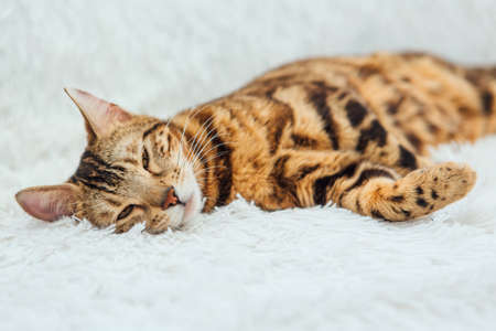 Bengal kitty cat laying on the white fury blanket indoors