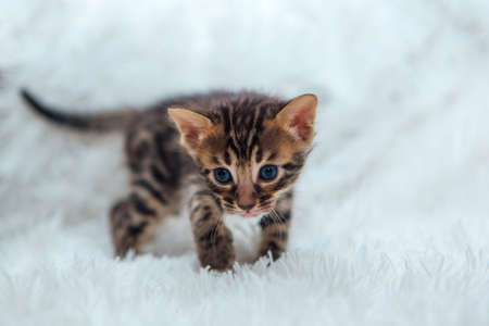 Cute dark grey charcoal short-haired bengal kitten on a furry white blanket. Stock Photo