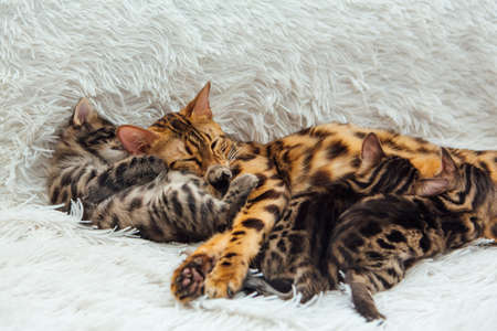 Adorable golden bengal mother-cat feeds her little kittens with breast and hugging one of them.