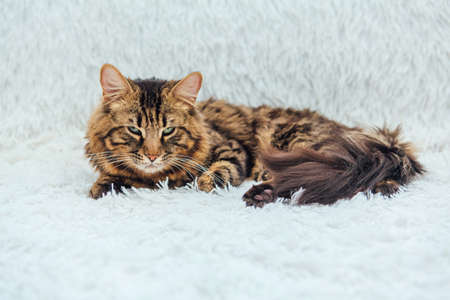 Long-haired charcoal bengal kitty cat laying on white fury blanket indoors Stock Photo