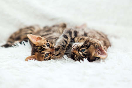 Two cute one month old kittens playing and fighting on a furry white blanket. Stock Photo