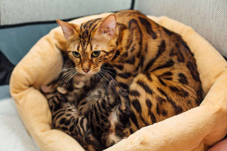 Adorable golden bengal mother-cat feeds her little kittens with breast