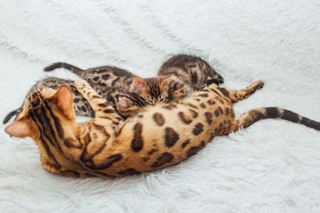 Adorable golden bengal mother-cat feeds her little kittens with and hugging one of them.