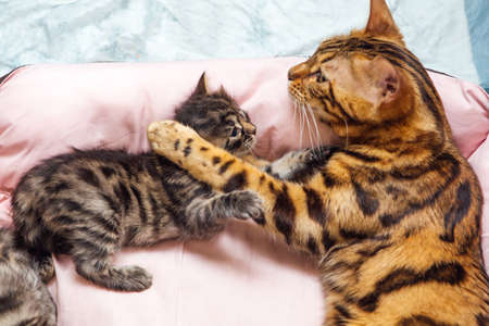 Adorable golden bengal mother-cat laying with her little kittens on the pillow. Top view.