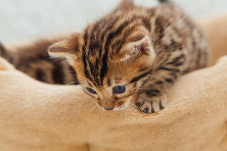 Closee-up face of cute bengal one month old kitten laying on the cat's pillow