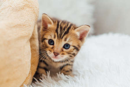 Cute bengal one month old kitten on the white fury blanket close-up.