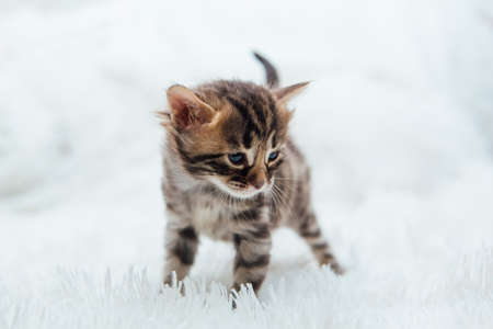 Cute dark grey charcoal short-haired bengal kitten on a furry white blanket. Banque d'images