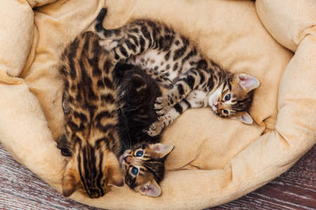 Closee-up faces of cute bengal one month old kittens laying on the cat's pillow