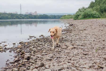 Labrador Retriever dog walking near the river.