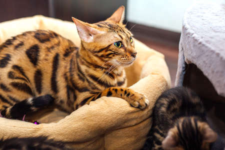 Adorable bengal kitty cat laying on the pillow.