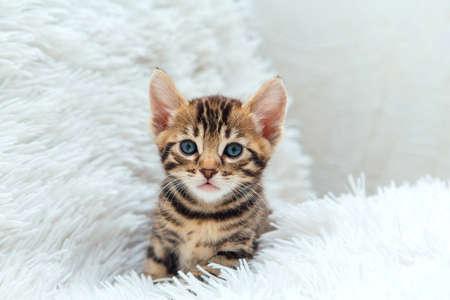 Little bengal kitten on the white fury blanket Zdjęcie Seryjne