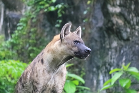 Spotted hyenas may kill as many as 95% of the animals they eat,while striped hyenas are largely scavengers.Generally, hyenas are known to drive off larger predators, like lions, from their kills, despite having a reputation in popular culture for being cowardly Banco de Imagens