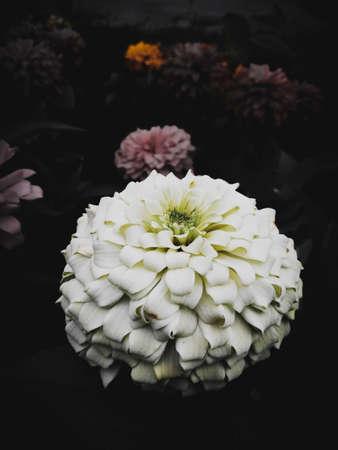 White flower in dark black background
