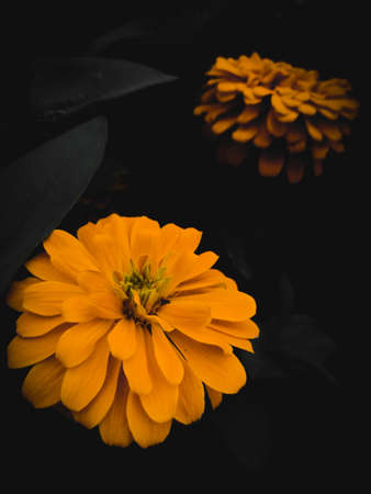 Yellow flower in dark black background