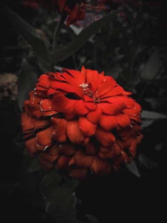 Red flower in dark black background