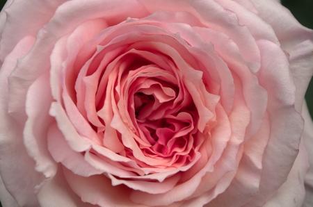 english rose: James Galway Old English Rose Stock Photo