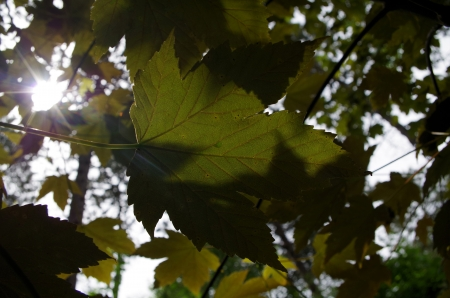 aceraceae: Sycamore Leaf in Sunlight