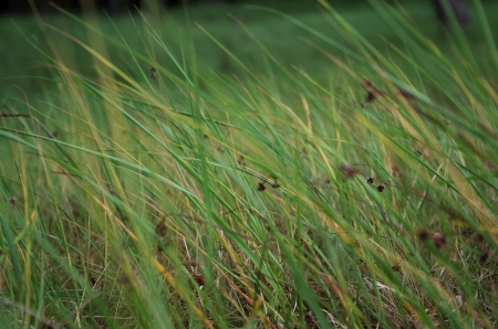fescue: Blowing in the wind