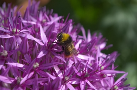 polen: Bumblebee Looking for Pollen on Allium