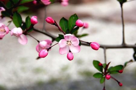 Peach blossom close up view Stock Photo