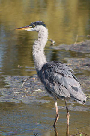 Fishing Great Blue Heron Stock Photo - 13827243
