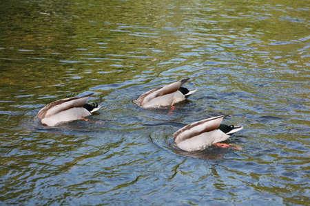 agachado: Tres patos una atenuación