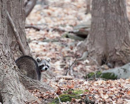 racoon: Racoon looking back