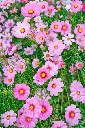 Field of pink flower by close up. photo